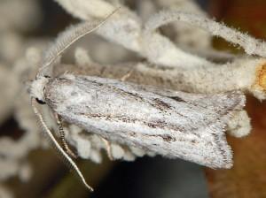 Ditula joannisiana mâle 34 2