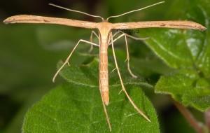 Emmelina monodactyla 1