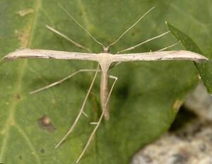 Emmelina pseudojezonica 30 2