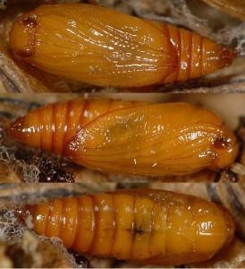Epermenia devotella chrysalide 06 1