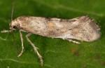 Epermenia insecurella 06 3