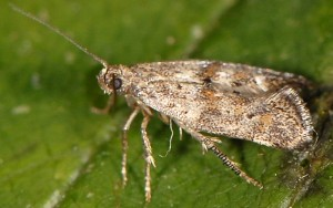Epermenia ochreomaculellus 66 1