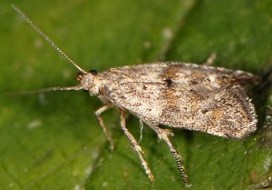 Epermenia ochreomaculellus 66 2