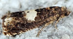 Epiblema cnicicolana 06