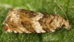 Epinotia abbreviana