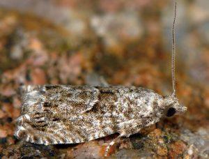 Epinotia-cinereana-05-1