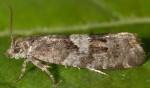 Epinotia pygmaeana 06 1