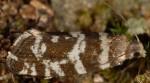 Epinotia tedella femelle 06 2