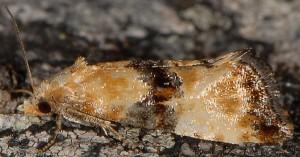 Eupoecilia angustana 05 2
