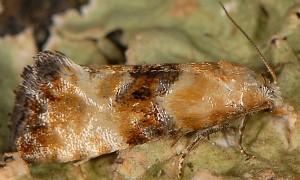 Eupoecilia angustana 06 2