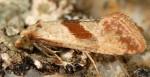 Falseuncaria ruficiliana 06 3