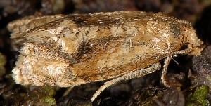 Gynnidomorpha alismana 11 1