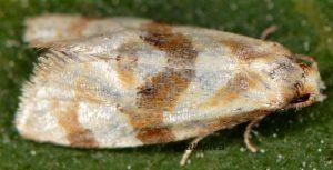 Gynnidomorpha-luridana-30-3
