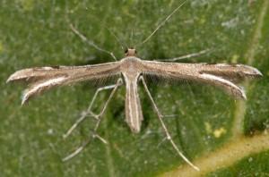 Gypsochares baptodactylus 2B 2