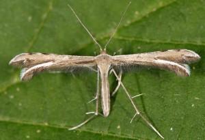Gypsochares baptodactylus 2B 3