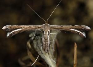 Gypsochares baptodactylus 2B 4
