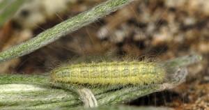 Gypsochares baptodactylus L4 2A 1