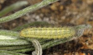 Gypsochares baptodactylus L4 2A 2