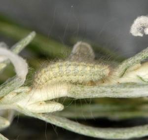 Gypsochares baptodactylus L5 2B 1