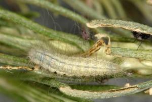 Gypsochares baptodactylus L5 2B 4