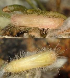 Gypsochares baptodactylus chrysalide 2A 1