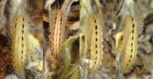 Gypsochares baptodactylus chrysalide 2B 1