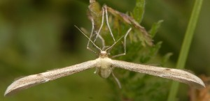 Hellinsia distinctus 05 1