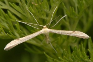 Hellinsia distinctus 05 2