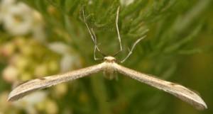 Hellinsia distinctus 05 3