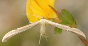 Hellinsia distinctus 05 4