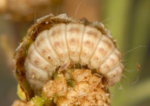 Hellinsia distinctus L4 05 1