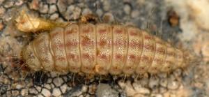 Hellinsia distinctus L5 05 2