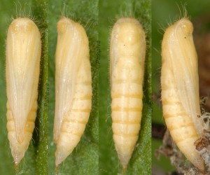 Hellinsia distinctus chrysalide 05 1