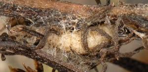 Hellinsia distinctus cocon 05 1