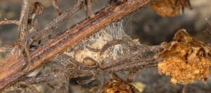 Hellinsia distinctus cocon 05 2
