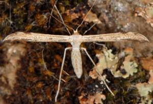 Hellinsia lienigianus 2