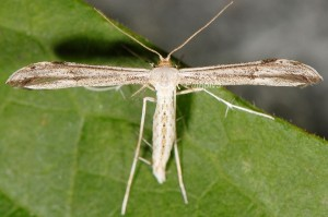 Hellinsia lienigianus 3