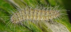 Hellinsia lienigianus L3 1