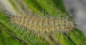 Hellinsia lienigianus L3 2