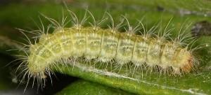 Hellinsia lienigianus L5 3