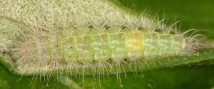 Hellinsia lienigianus L5 4