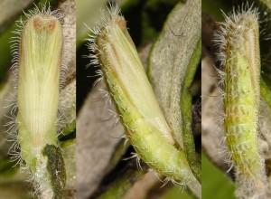 Hellinsia lienigianus chrysalide 06 1
