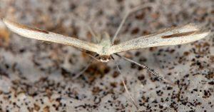 Hellinsia-pectodactylus-06-2