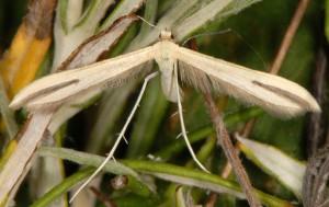 Hellinsia pectodactylus 66 1
