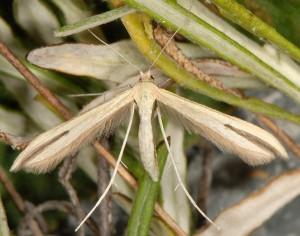 Hellinsia pectodactylus 66 2