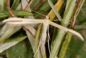 Hellinsia pectodactylus 66 3