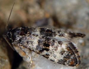 Hysterophora maculosana 2B 1