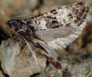 Hysterophora maculosana 2B 2