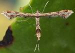 Lantanophaga pusillidactylus 06 4
