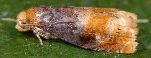 Lepteucosma huebneriana 73 1